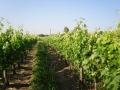 3 vigne levée-14