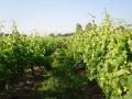 1 vigne non levée -14